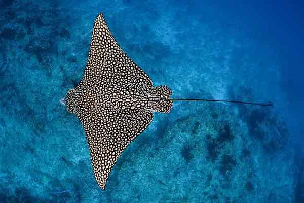 Spotted Eagle Rays from Above